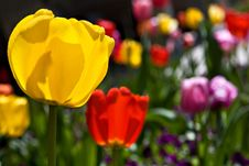 Free Colorful Sunlit Tulips Royalty Free Stock Image - 17819616