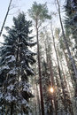 Free Tall Winter Trees Stock Photography - 17820152