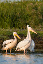 Free White Pelicans On Shore Royalty Free Stock Images - 17823329