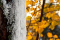 Free Frost On Tree Trunk In Autumn Royalty Free Stock Images - 17826699