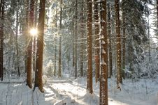 Winter Coniferous Forest Royalty Free Stock Photos