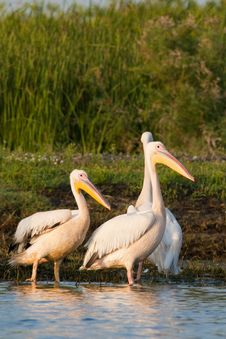 White Pelicans On Shore Royalty Free Stock Images