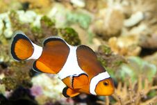 Free Clownfish Royalty Free Stock Image - 17823386