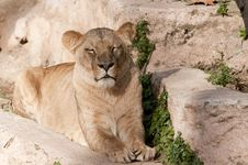 Lioness Resting Royalty Free Stock Image