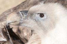 Free Griffon Vulture Portrait Stock Image - 17823441