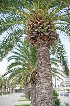 Free Palmtree Royalty Free Stock Photos - 17828198