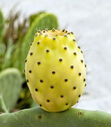 Cactus With Yellow Fruit Royalty Free Stock Images