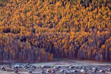 Free White Birch Forest Of Hemu,Xinjiang, China Royalty Free Stock Images - 17828349