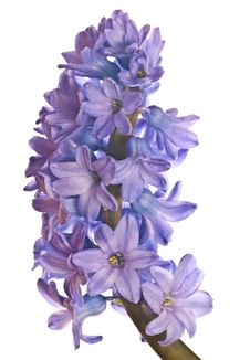 Free Blue Hyacinth Stock Image - 17829301