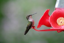 Free Female Ruby-throated Hummingbird Stock Photos - 17830003
