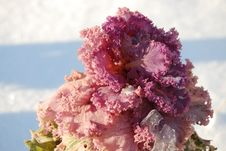 The Flower Cabbage Royalty Free Stock Image