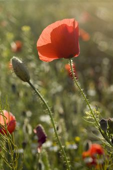 Free Poppy Flower And Blossom Royalty Free Stock Image - 17831576