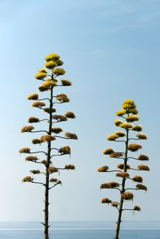 Free Agave Flowers Stock Photos - 17831923