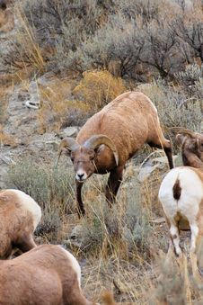 Free Bighorn Sheep Ram Herding Ewes Stock Photography - 17832112
