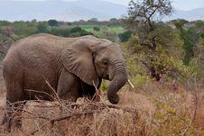 Free African Elephant Royalty Free Stock Image - 17832236