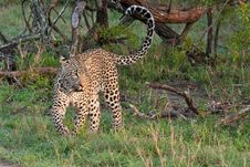 Free African Leopard Stock Image - 17832471