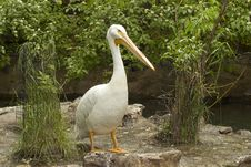 Free American White Pelican Stock Photography - 17833092