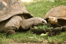 Free Tortoises Royalty Free Stock Images - 17833809