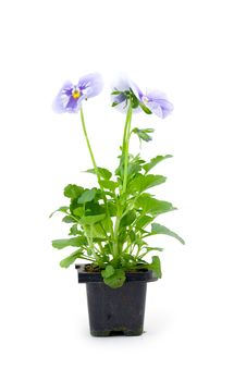 Free Seedlings Viola Royalty Free Stock Photography - 17834277