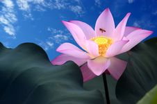 Free Lotus Flower Stock Photo - 17835160