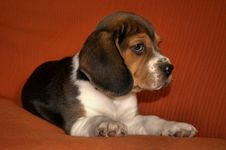Free Beagle Stock Image - 17835431