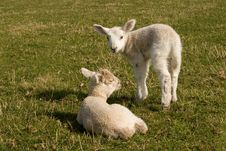 Free Two Brothers - Little Lambs Stock Photos - 17835493