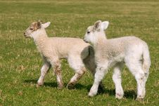 Free Little Friends - Two Lambs Stock Photos - 17835513