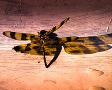 Tiger Dragonfly Royalty Free Stock Photos
