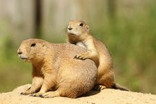 Two Prairie Dogs Close Together Royalty Free Stock Images