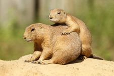 Two Prairie Dogs On A Sandy Hill Stock Photo