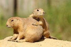 Prairie Dogs Royalty Free Stock Image