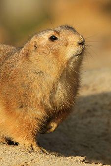 Portrait Of A Prairie Dog Stock Photo