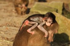 Baby Baboon On The Back Of Its Mother Stock Photo