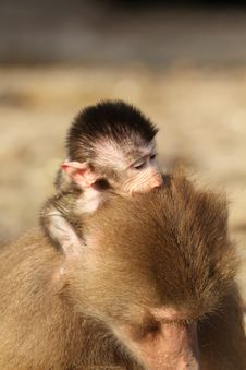 Baby Baboon Sitting On The Back Of Its Mother Royalty Free Stock Photo