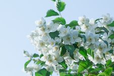 Free White Jasmine Flowers Stock Image - 17836741