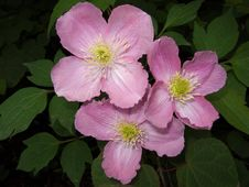 Free Pink Clematis Stock Photography - 17836752