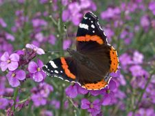 Free Red Admiral Stock Photography - 17837212