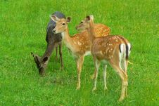 Free Cute Deers Trio Stock Photography - 17837542