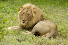 Free Lion Royalty Free Stock Photography - 17837827
