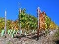 Free Vines Royalty Free Stock Photos - 17840888