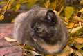 Free Serious Cat Sitting In Autumn Leaves Stock Photography - 17842032