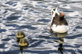 Free Mama Duck And Babies Swimming Stock Photos - 17842863