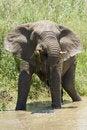 Free Elephant Drinking Stock Photography - 17846092