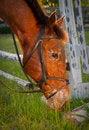 Free Brown Horse Grazing Stock Photo - 17847360