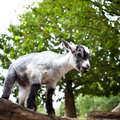 Free Cute Goat Royalty Free Stock Photo - 17847465
