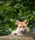 Free Red Fox Royalty Free Stock Image - 17847466