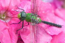 Green Dragonfly. Royalty Free Stock Photo