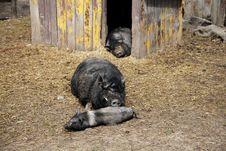 Free Thoroughbred Pig Royalty Free Stock Image - 17844536