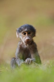 Free Baboon Portrait Royalty Free Stock Photo - 17844635