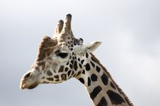 Free Giraffe S Profile Stock Image - 17844711